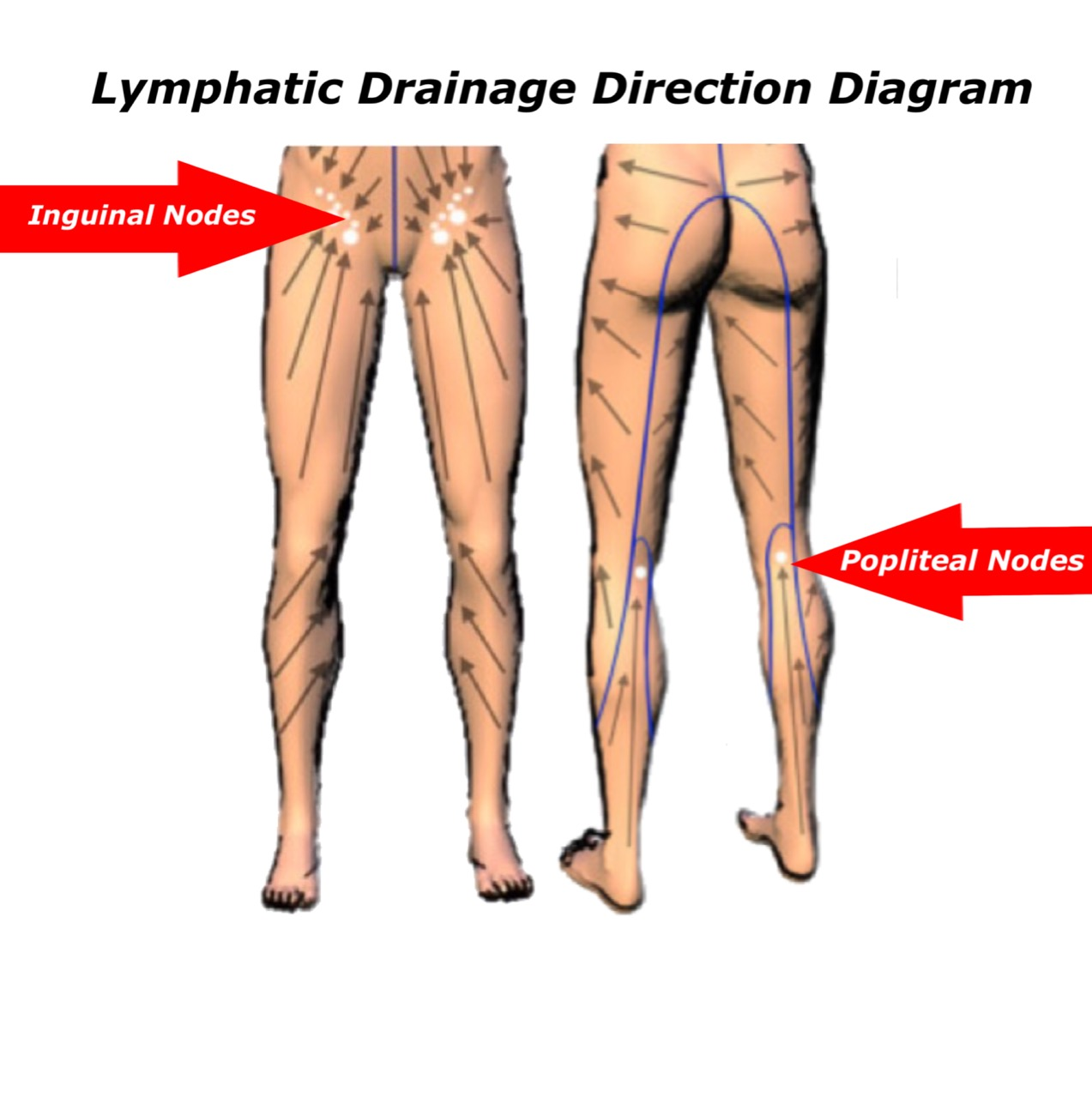 Diagram Of Lymph Node System Legs Electrical Work Wiring Diagram